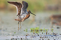 Long-billed Dowitcher (Limnodromus scolopaceus), adult in flight, Welder Wildlife Refuge, Sinton, Texas, USA