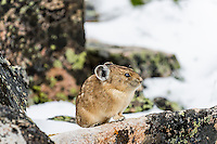 American pika (Ochotona princeps) in its boulder field home after summer snowstorm.  Beartooth Mountains, Wyoming/Montana border.  Summer.  This photo was taken in alpine setting at around 11,000 feet (3350 meters) elevation.