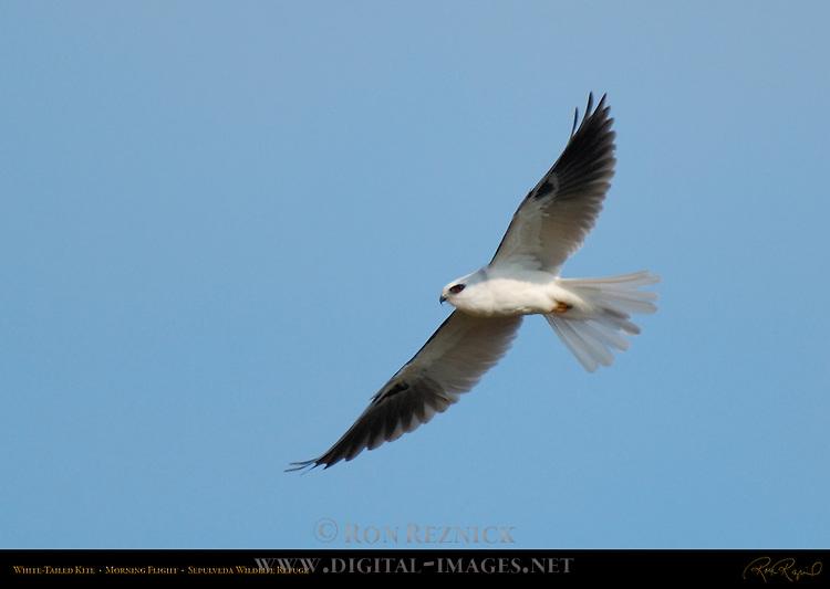White-Tailed Kite, Morning Flight, Sepulveda Wildlife Refuge, Southern California