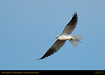 White-Tailed Kite, Morning Flight, Sepulveda Wildlife Refuge, Southern California