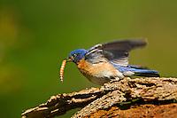 Eastern Bluebird (Sialia sialis). Male. Spring. Carolinian Forest. Lake Ontario, Ontario, Canada. Grabbing mealworm.