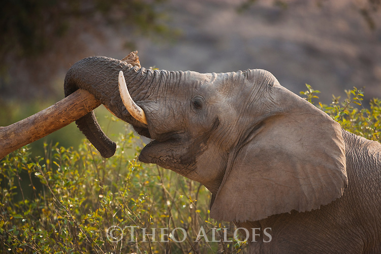 Namibia;  Namib Desert, Skeleton Coast,  desert elephant  (Loxodonta africana) bull in must, laying trunk across log