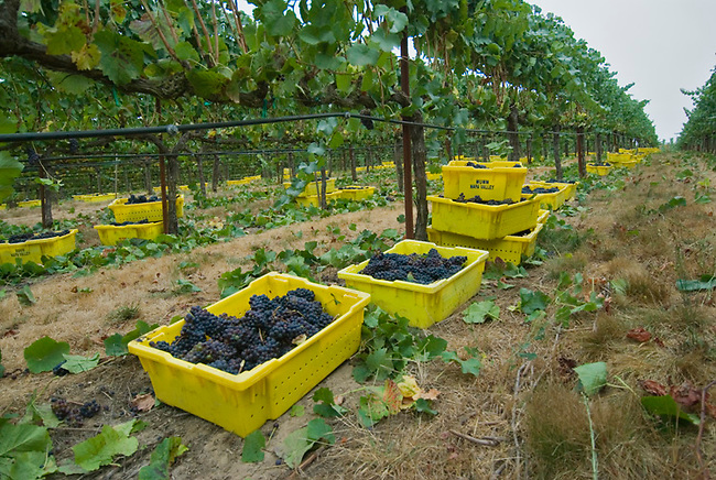 Picked grapes ready for transport to winery