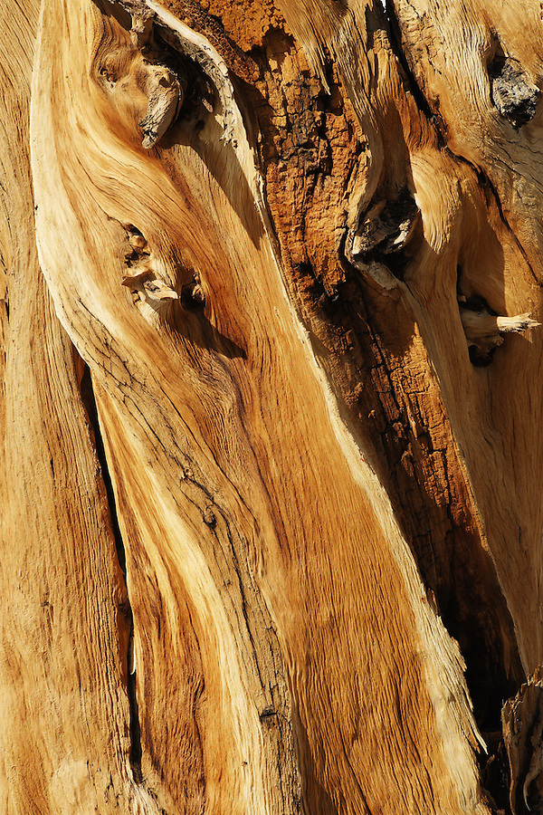 Detail of bristlecone pine bark, Inyo National Forest, White Mountains, California, USA