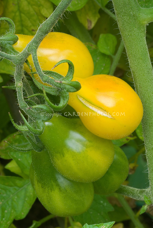 Tomato Yellow Pear, splitting and cracking while growing, vegetable plant problem due to insufficient water then heavy rain, irregular irrigation