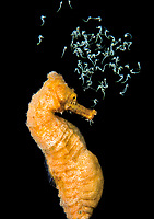 slender seahorse, Hippocampus reidi, longsnout seahorse, pregnant male, releasing its babies at the Blue Heron Bridge, Lake Worth Lagoon, Riviera Beach, Florida, USA, Atlantic Ocean