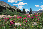 July 26, 2016 - Aspen, Colorado, U.S. -  Brilliant rosy paintbrush is in abundance during the height of wildflower season along the Lost Man Trail in the Hunter-Fryingpan Wilderness Area near Aspen, Colorado.