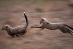 Cheetahs running, Zimbabwe, Africa