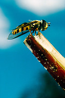 INSECTS<br /> Hover Fly Mimics Stinging Wasps And Bees<br /> Hover flies mimic the appearance of stinging wasps to fool predators into thinking that they will  be painful to eat. Syrphidae (genus eristalis)