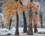 Yosemite National Park, CA: Black oaks (Quercus kelloggii) of El Capitan Meadow with lingering fall color and a dusting of snow, Yosemite Valley