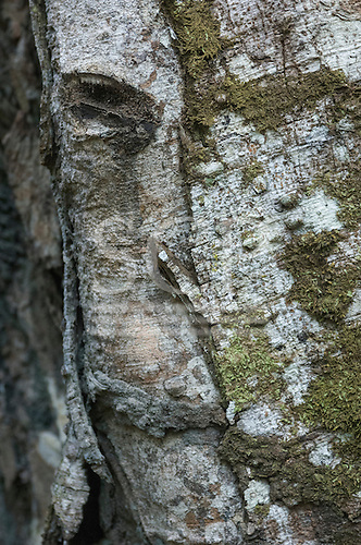 Amazon, Brazil. A face in the bark of a tree in the forest. A face.