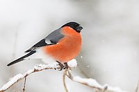 Bullfinch - Pyrrhula pyrrhula - male. L 16-17cm. Unobtrusive finch whose call and white rump are distinctive. Bill is stubby and dark. Sexes are separable. Adult male has a rosy-pink face, breast and belly. Back and nape are blue-grey and cap and tail are black. Note white wingbar on otherwise black wings. Adult female is similar but duller. Juvenile is similar to adult female but head is uniformly buffish brown. Voice Utters a soft piping call; pair sometimes duets. Song is quiet and seldom heard. Status Fairly common resident of woodlands, hedgerows and mature gardens.