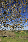 Israel, Shephelah, Atlantic Pistachio trees in Park Adulam