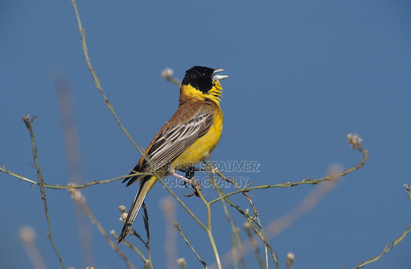 Black-headed Bunting, Emberiza melanocephala, male singing, Samos, Greek Island, Greece, Europe