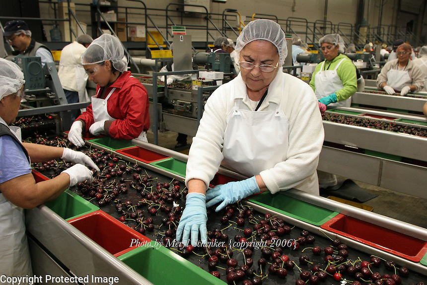 "Eva Solorzano is one of many workers who pack cherries at a Zirkle Fruit packing shed in Selah, Washington. She is sorting cherries to pick out split, damaged or small cherries for the cull bin. The remaining ""fancy grade"" cherries will be shipped out to stores where, in most cases, they arrive within 24 hours of picking."