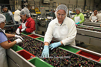 """Eva Solorzano is one of many workers who pack cherries at a Zirkle Fruit packing shed in Selah, Washington. She is sorting cherries to pick out split, damaged or small cherries for the cull bin. The remaining """"fancy grade"""" cherries will be shipped out to stores where, in most cases, they arrive within 24 hours of picking."""