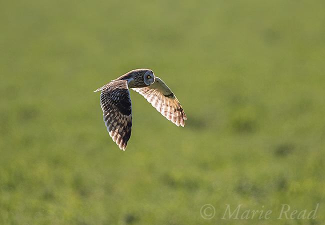 Short-eared Owl (Asio flammeus) male in flight, backlit, northern Utah, USA