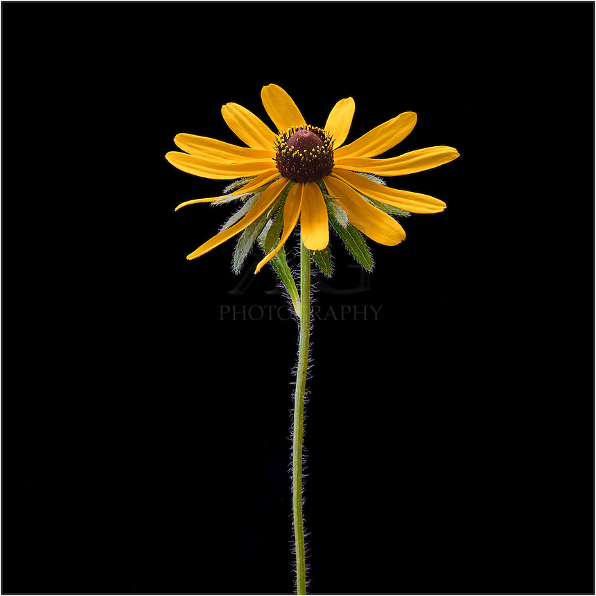 The Maximilian is a Texas wildflower that grows up to 10 feet in height and produces beautiful golden petals. It is a great wildflower to raise for livestock and produces valuable resources like sunflower oil and seeds. This Texas wildflower can be found during the spring and summer months in prairies and fields throughout Texas and the southwest.