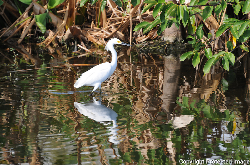 Magnificent Snowy Egret approaching the shoreline and presenting a beautiful reflection in the water. Photographed at Green Cay Wetlands, Boynton Beach, Florida.
