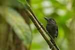 Fasciated Antshrike (Cymbilaimus lineatus) male, Pipeline Road, Gamboa, Panama