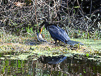 Anhinga grabbed a fish from a canal and did not waste time enjoying its meal. Photographed at Arthur Marshall Loxahatchee Preserve, Boynton Beach, Florida.