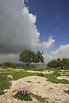 Israel, Shephelah, Cyclamen flowers at Givat Gad (Gad Hill)