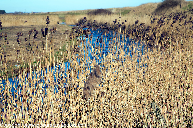 Seed heads of marsh reeds, Hollesley marshes drainage ditch , Suffolk