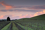 Sunset over vineyard in the Carneros Valley, Napa County, California