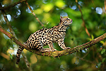 Margay Cat (Leopardus wiedii), Costa Rica.