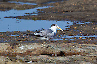 Crested Tern, Woody Head, BundjalungNP, NSW, Australia