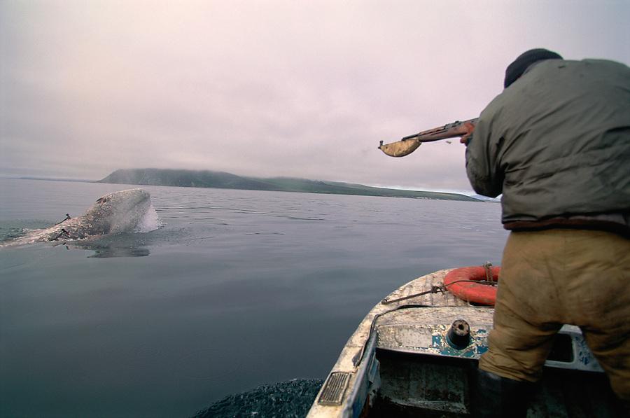 Chukchi Whale hunters, Hunting Grey Whale, Chukotka, Siberia, Russia