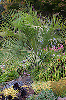 Butia capitata - Pindo Palm with succulents in California grought tolerant garden