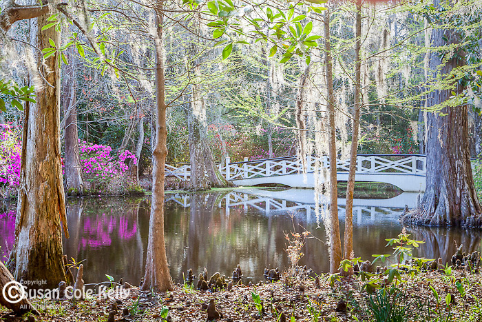 Beautiful bridges span the lake at Magnolia Plantation and Gardens in  Charleston, South Carolina, USA