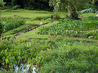 Taro fields on Kauai, the traditional staple food of the Hawaiians