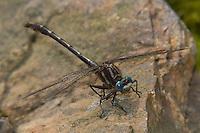 Lancet Clubtail (Gomphus exilis) Dragonfly - Male, Conant Brook Dam, Monson, Hampden County, Massachusetts
