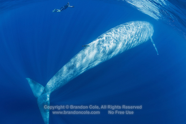 TC0300-D. Blue Whale (Balaenoptera musculus), and underwater photographer. The largest animal living on earth. Historically, some grew to 110 feet long and 200 tons. Today, 85 feet and 100 tons is considered huge. Blue whales were hunted close to extinction until granted protection in the 1960s by which time some 400,000 had been killed. Some populations  (e.g. the Antarctic stock) may never recover. The California subpopulation (est. 2,200), however, has nearly recovered to pre-whaling levels. Estimated worldwide population today is 15,000 to 20,000 whales. Pacific Ocean.<br /> Photo Copyright &copy; Brandon Cole. All rights reserved worldwide.  www.brandoncole.com