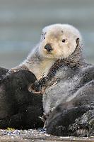 Alaskan or Northern Sea Otter (Enhydra lutris) resting on old boat dock.