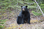 Wildlife - Bears