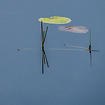 Isolated reeds and their reflections in pond