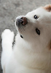 Photo shows Natsuko, a 2-year-old Akita Inu that was bred in Odate City, Akita Prefecture Japan. Photographer: Rob Gilhooly