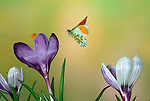 Orange Tip Butterfly, Anthocharis cardamines, adult, male in flight over crocus flowers, high speed photographic technique, flying.United Kingdom....