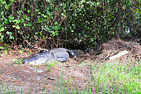 Large Female Alligator guarding the mound she built to protect her eggs. Alligators can become very aggressive when guarding their mounds.