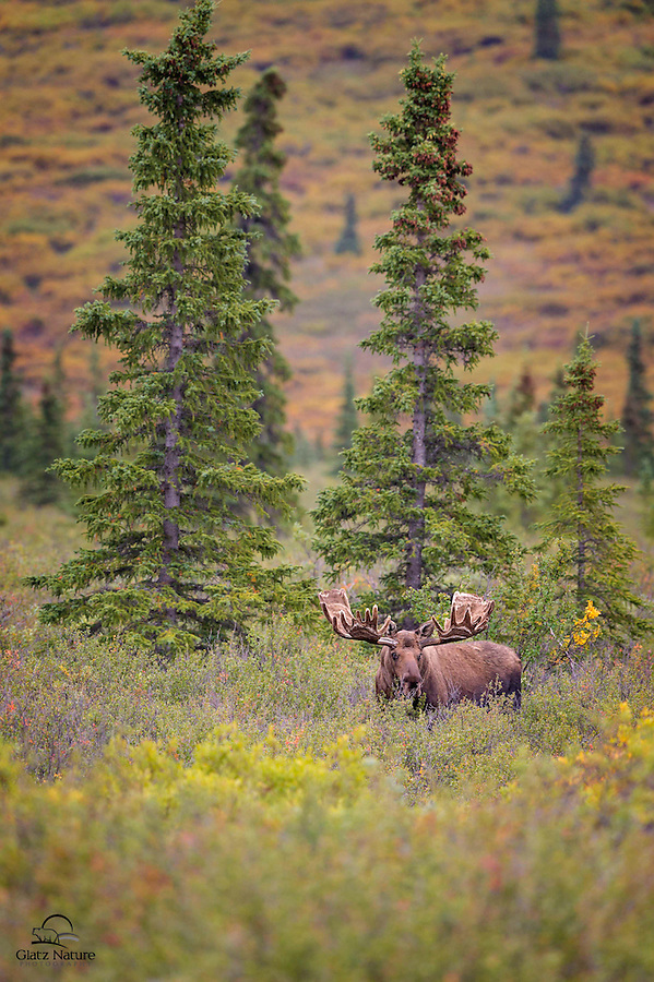 Large bull Moose (Alces alces) poses in front of Spruce Trees in Denali National Park.  We saw three big bulls in this area, and they all bedded down, becoming almost invisible.  This was the first guy to get up.  Here he checks us out while beginning to feed again.  Denali National Park, Alaska.
