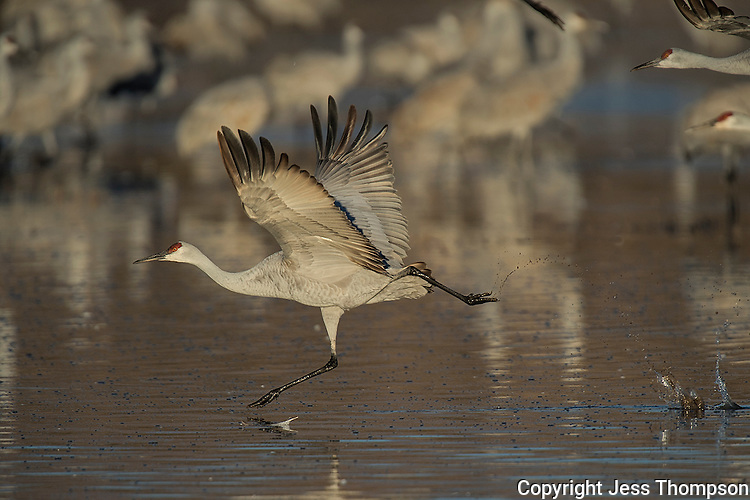 Sandhill Crane takeoff at Bosque del Apache NWR