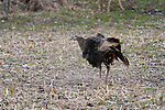 Eastern wild turkey - hen dusting