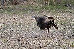 Eastern wild turkey - hen dusting