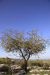Israel, Shephelah, a tree on  Sher Hill