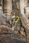 Monkey Sits on Temple Steps holding Sunflower