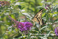 03017-01416 Giant Swallowtail (Papilio cresphontes) on Butterfly Bush (Buddleja davidii) Marion Co. IL