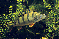 Flussbarsch, Flußbarsch, Fluss-Barsch, Barsch, Kretzer, Perca fluviatilis, European perch,redfin perch, English perch